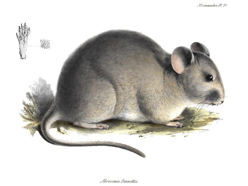 Abrocomidae Chinchilla Rats Wildlife Journal Junior