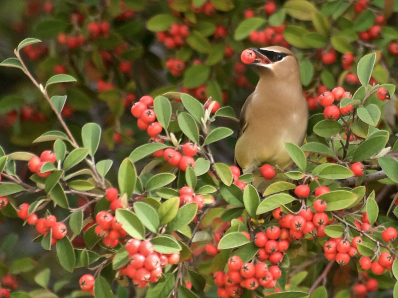 Bombycillidae Waxwings Silky Flycatchers Photo Gallery