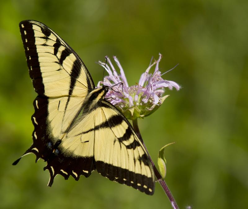 Plantas de jardín de mariposa