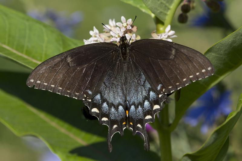 Tiger Swallowtail B'fly - EnchantedLearning.com