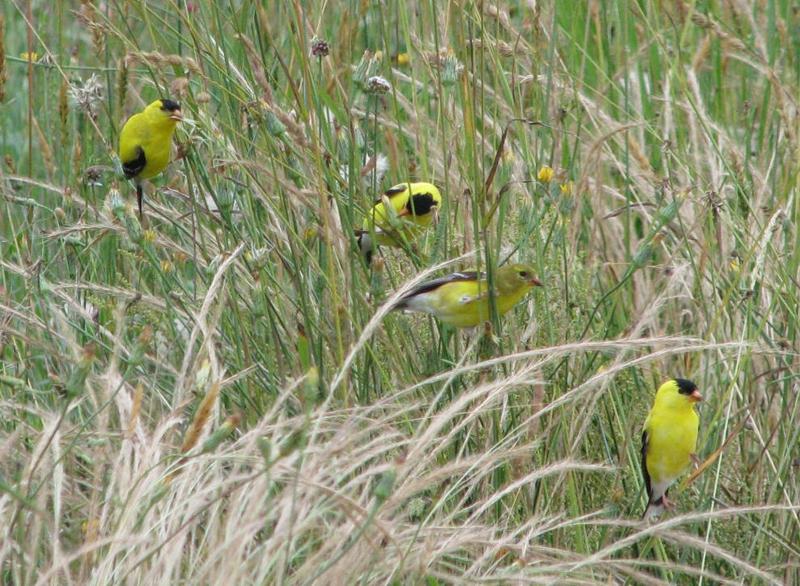 American Goldfinch - Spinus tristis - NatureWorks