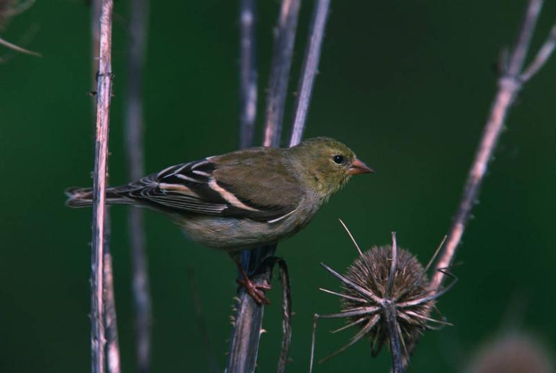 El jilguero en invierno es un pájaro de un color diferente | Paseo del jardín Paseo del jardín