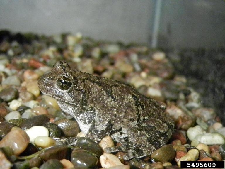 Gray tree frog - photo#23