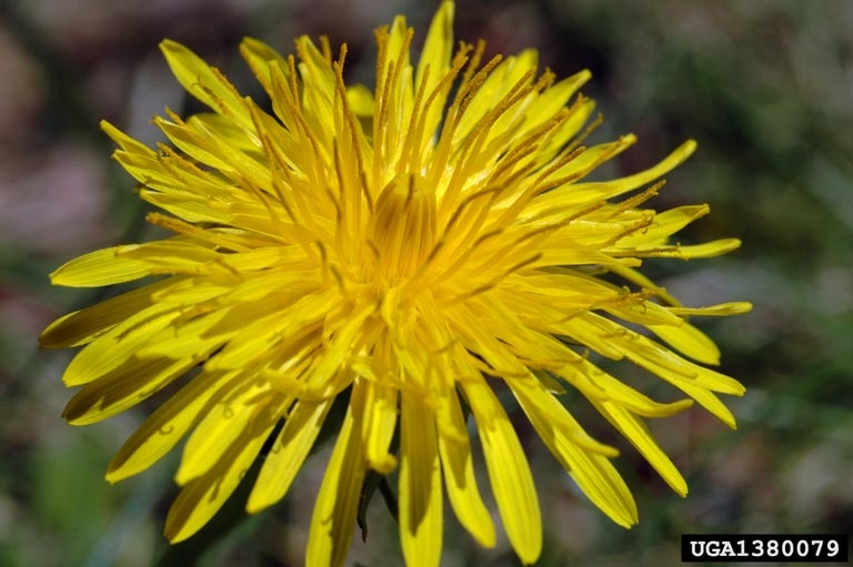 asteraceae the daisy family wildlife journal junior