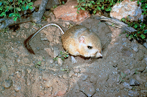 Heteromyidae - kangaroo rats, pocket mice | Wildlife ...