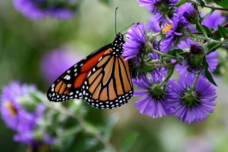 Monarch butterfly danaus plexippus natureworks for Butterfly on flowers