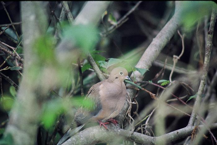 Safari Ecología: Pájaros comunes: Anillo-necked Dove