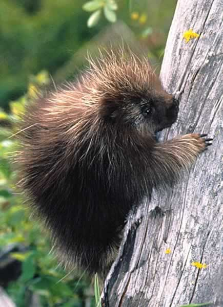 porcupines mate in late summer and early fall porcupines are