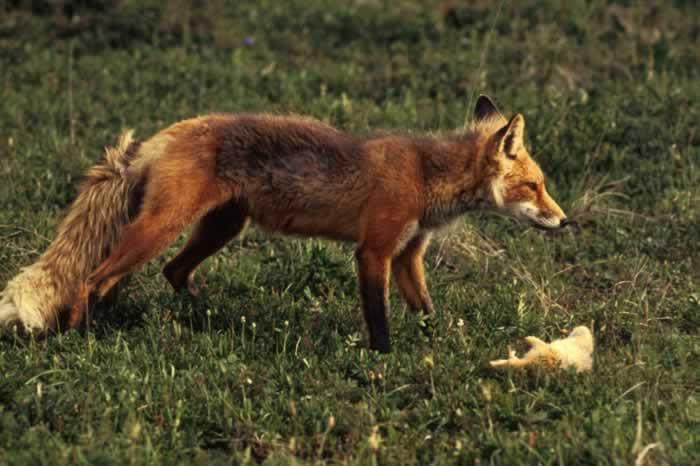 лисиця це дика тварина вікіпедія ответ Татьяна Мудрец