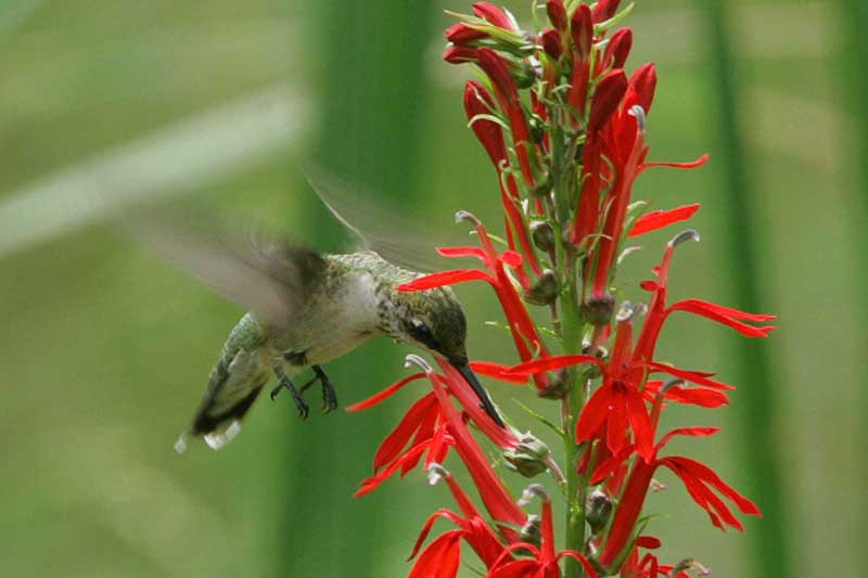 adaptations of native angiosperms essay Hummingbird adaptations essays  are forced to visit many flowers and in turn are cross-pollinating the flowering plants this behavior has allowed for a close .