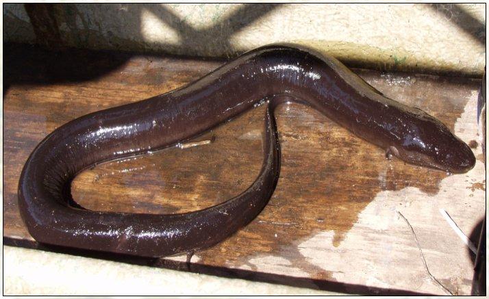 Amphibians Journal Amphiumidae - Amphiuma...