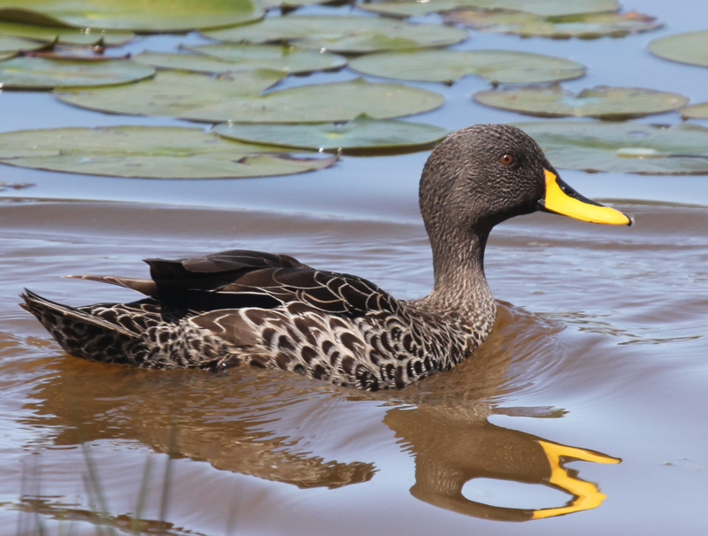 Yellow billed duck
